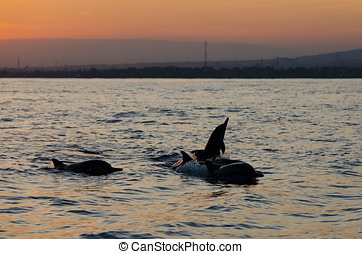Jumping Dolphin at Lovina Beach - A dolphin jumps out of the...
