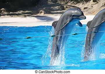 Bottle Nose Dolphins leaping out of the water at Loro Parque on Tenerife