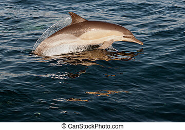 The jumping dolphins comes up from water. The Long-beaked common dolphin (scientific name: Delphinus capensis) swim in atlantic ocean.