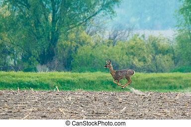 Jumping European roe deer (Capreolus capreolus)