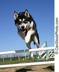 jumping puppy husky - purebreed siberian husky and agility