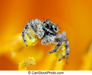 A macro shot of a jumping spider on the stamen of a yellow flower.