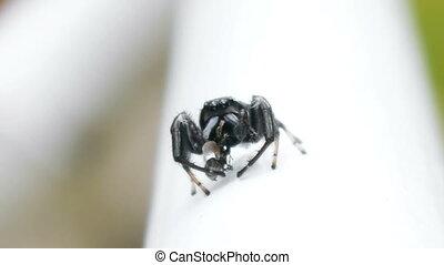 Jumping Spider Eating Wasp