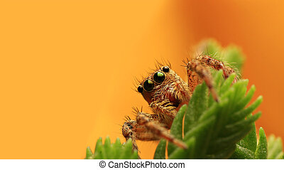 Jumping spider on yellow background.