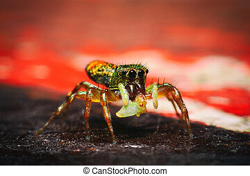 Jumping spider, peacock spider