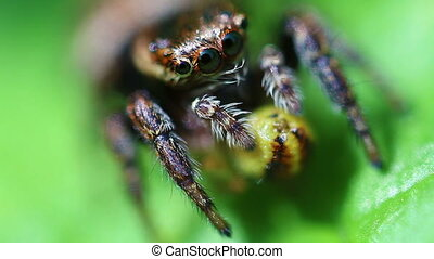 Jumping Spider - prey - super Macro - Jumping spider with...