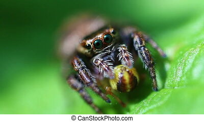 Jumping Spider - Salticidae - Jumping spider with its prey -...