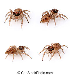 Jumping Spiders on white background