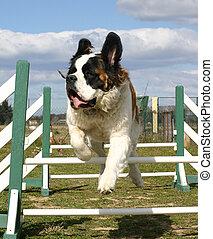 jumping st bernard - purebreed jumping mastiff saint bernard...