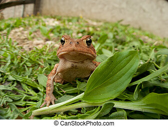 Jumping toad frog