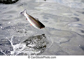 Jumping Trout - Rainbow Trout jumping back into the water.