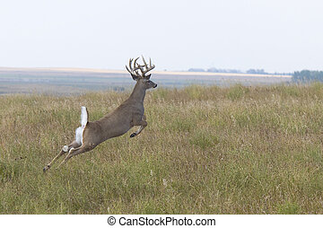 Jumping Whitetail Deer Buck