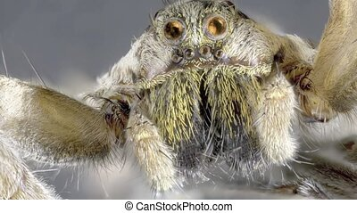 Wolf Spider - Jumping Wolf Spider Magnification