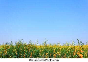 juncea), campo, sunn, tailandia, (crotalaria, cáñamo