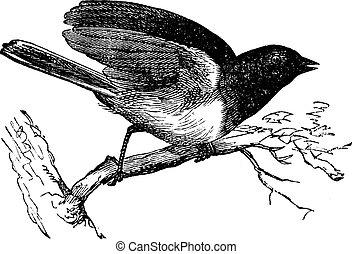 junco, (1886, illustration., trousset, 型, -, 1891)., dark-...