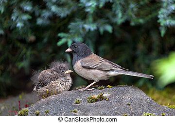 junco, dark-eyed, polluelo, bebé, madre