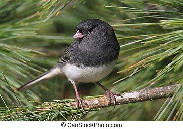 Dark-eyed Junco perched on pine branch