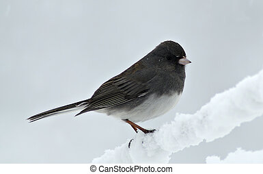 Junco in snow storm - A Junco lands briefly on a snow ...