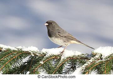 junco, neva-coberto, ramo