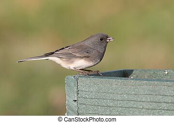 Junco On A Feeder