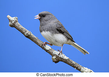 Dark-eyed Junco (hyemalis) on a stump with a blue sky background