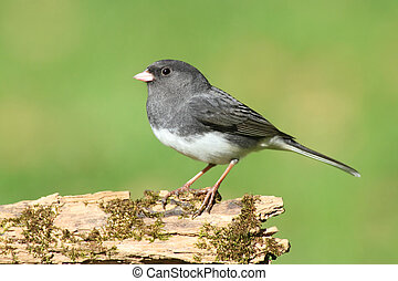 Dark-eyed Junco (Junco hyemalis) on a stump with a green background