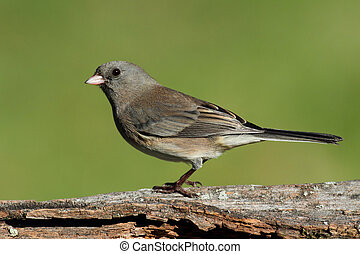 Junco On A Stump - Dark-eyed Junco (Junco hyemalis) on a ...