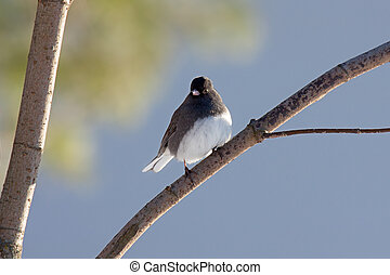 Junco Perched On a Branch