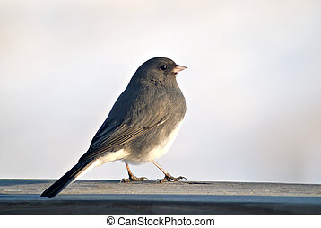 A Junco suns itself in the late afternoon sunlight.