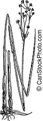 Juncus subnodulosus or Blunt-flowered Rush, vintage engraving.