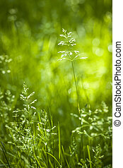 June green grass flowering - Summer flowering grass and ...
