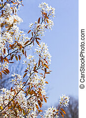 Juneberry or Amelanchier blooming in spring