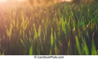 Jung wheat stems moving by the wind in warm spring evening...