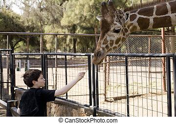 junge, fütterung, a, giraffe
