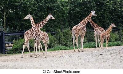 junge, herde, Giraffen