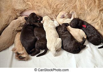 junge Hunde, Fütterung,  labradoodle