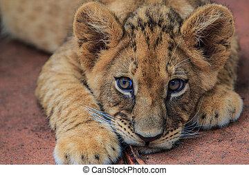 junge, löwe
