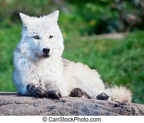junger, arktischer wolf, unten liegen