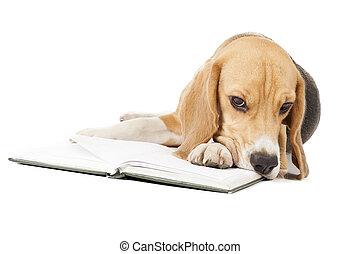 junger, beagle