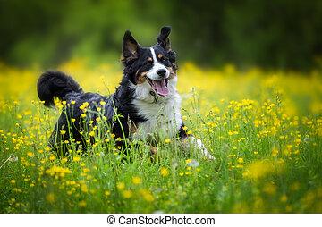 Junger Berner Sennenhund - Ein Berner Sennenhund beim toben...