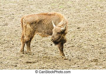 junger, bison, in, ihr, natürlich, lebensraum