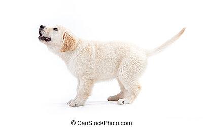 junger, goldener apportierhund, junger hund, warten, für,...