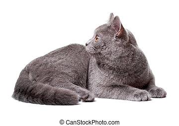 junger, graue , cat., freigestellt, auf, der, weißer...