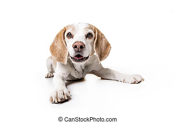 junger hund, beagle, weiß, hintergrund