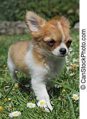 junger hund, chihuahua