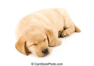 junger Hund, eingeschlafen,  labrador, Apportierhund