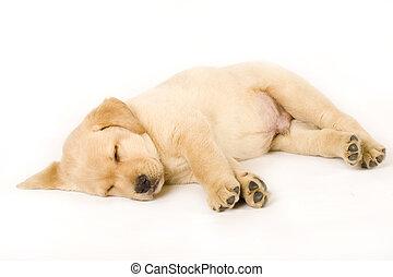 junger hund, eingeschlafen, labradorhundapportierhund