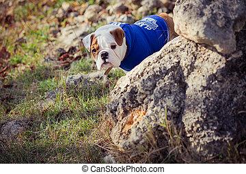 junger hund, englisches , französische bulldogge, rotes weiß, pelz, posierend, sitzen, für, fotoapperat, in, wild, wald, tragen, beiläufig, clothes.cute, wenig, haussespekulanthund, gehen, rennender , in, sentral, park, in, sommer, springen zeit