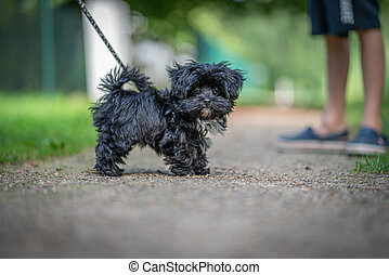 junger hund, fotoapperat, schwarz, aussehen, bolonka, zwetna
