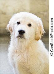 junger hund, goldener apportierhund